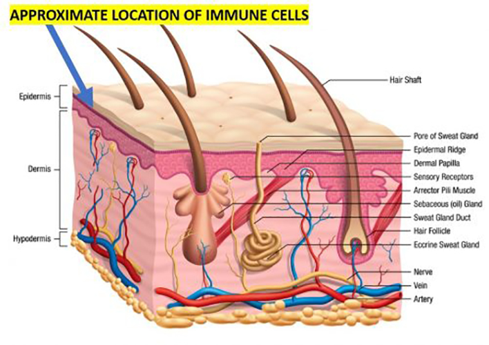 skin structure and immune cells