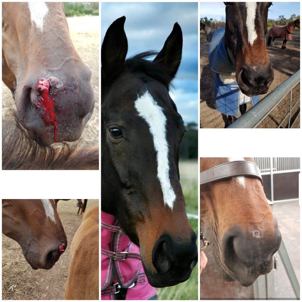 wheatgrass heals sarcoid wound on horse