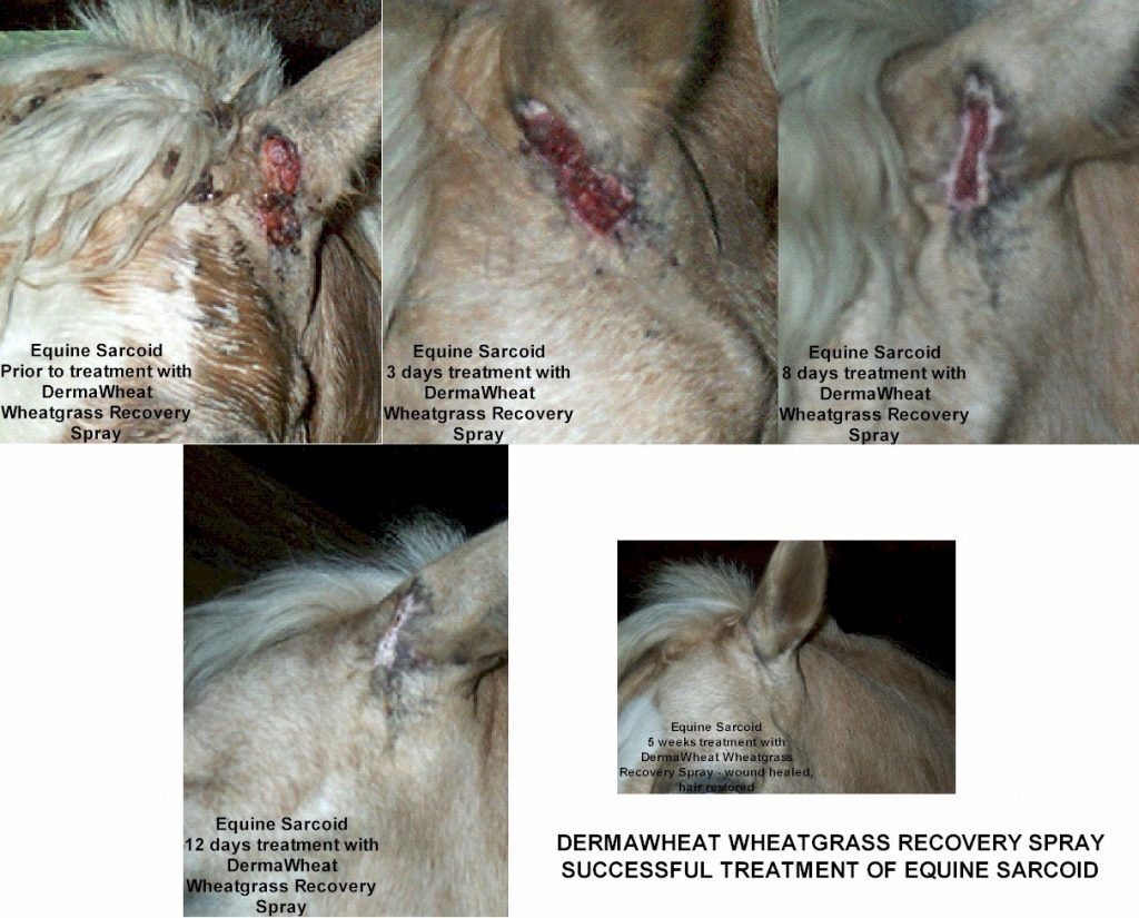 sarcoid wound horse healed with wheatgrass