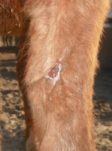 large horse leg wound almost completely healed by wheatgrass extract
