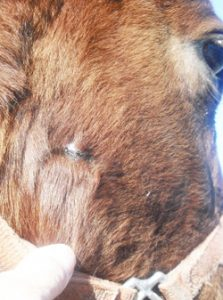 large full thickness wound on horse's jaw healed completely in 7 weeks