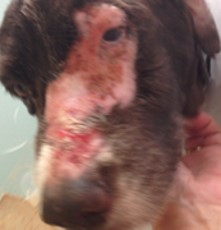 post radiation burn on dog's snout pre wheatgrass